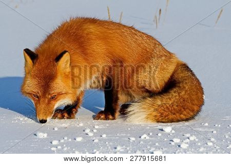 Fox On The Snow Looking For A Mouse Trail.  Fox, Common Or Red Fox (vulpes Vulpes) Is A Predatory Ma