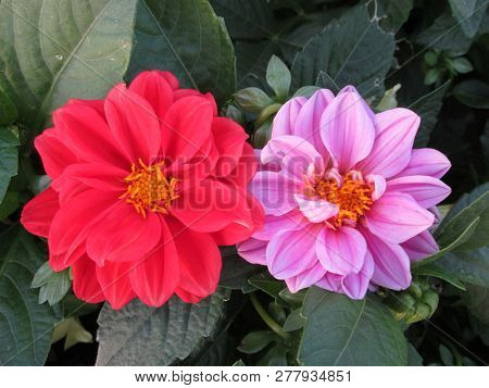Pink And Pink Dahlia In Zonguldak Park