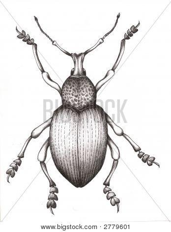 Boll Weevil Beetle