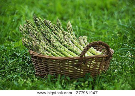 Asparagus. Fresh Asparagus. Green Asparagus. Picking Asparagus To The Basket.