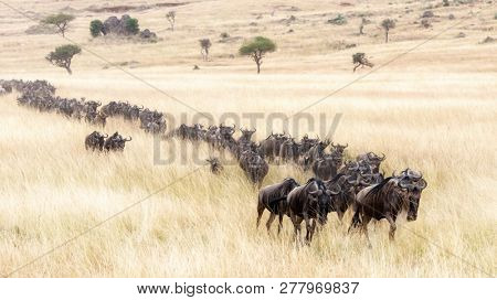 A long line of white-bearded wildebeest travel through the soft red-oat grass of the Masai Mara during the annual Great Migration.