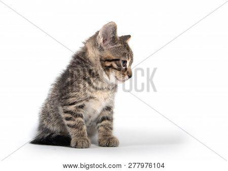 Cute Baby Tabby Kitten Looking Down