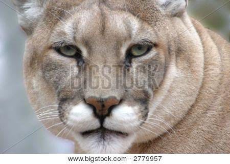 Cougar Head Shot