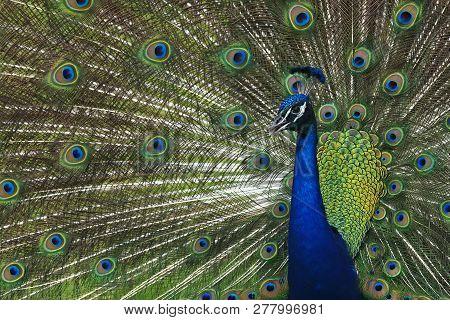 A Peacock Struts His Stuff At Riverbend Park In Jupiter, Florida