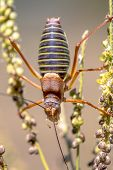 Famous Saddle-backed bush cricket (Ephippiger ephippiger). This distinctive grasshopper is found in all of Europe except the British Isles. It is known as biological pest control repellent. poster
