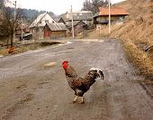 The rooster is crossing a road in the village poster