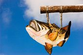 a bass fish hanging in the air and blue skies poster