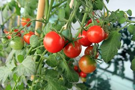 Many Red Cherry Tomatoes On The Bush