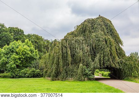 Green Weeping Beech Or Fagus Sylvatica Pendula With Footpath In Public Park Angerenstein In Arnhem I
