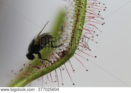 Carnivorous Plant Feeds Insects Fly Trapped Insect