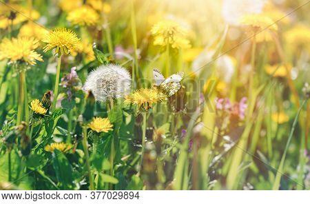 Butterfly On Dandelion, Beautiful Nature In Meadow