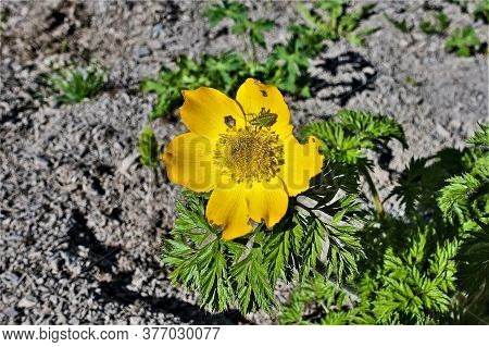 Bright Yellow Sunny Wildflower In The Alpine Meadows. Six Petals And Fluffy Stamens At The Core. A G