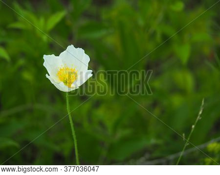 White Flower With Yellow Stamens On A Long Green Stem Against A Background Of Green Grass.