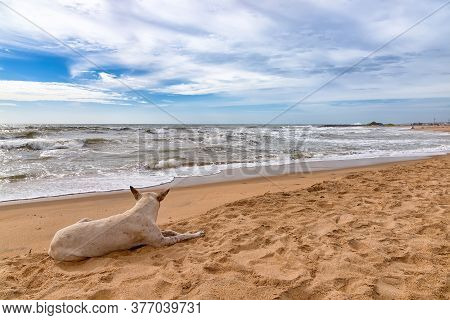 Dog Resting In Negombo Beach, Sri Lanka. Negombo Is A Major City In Sri Lanka, Situated On The West