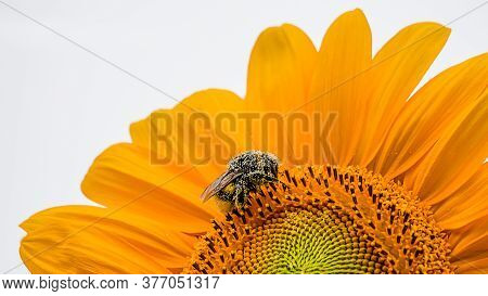 Bumblebee On Sunflower With White Background. One Bumble Bee. Bumble-bee. Humble-bee On Helianthus I