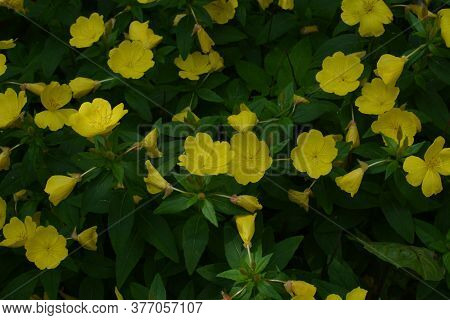 Common Evening Primrose (oenothera Biennis) In Garden.close-up Blossoming Yellow Flowers Of Common E