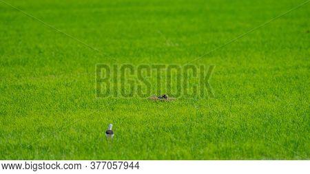 Gallinula Chloropus Nesting Over Huge Rice Field