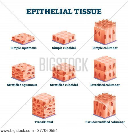 Epithelial Tissue With Labeled Squamous, Cuboidal And Columnar Examples Vector Illustration. Educati