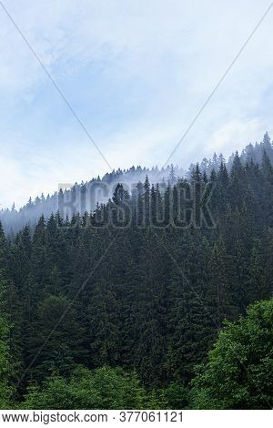 Spruce Wild Forest. A Dense Forest Of Fir Trees In Cloudy Weather In The Mountains. Carpathians.