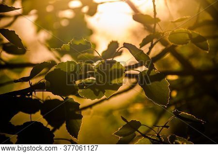 The Suns Rays Break Through The Birch Leaves. Thick Morning Fog