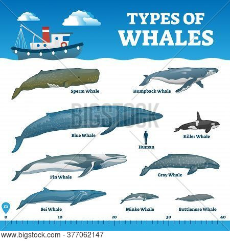 Types Of Whales Educational Labeled Comparison Collection Vector Illustration. Ocean Wildlife Mammal