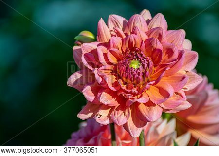 Pink Dahlia Petals Macro, Floral Abstract Background. Close Up Of Flower Beautiful Dahlia In Soft Fo