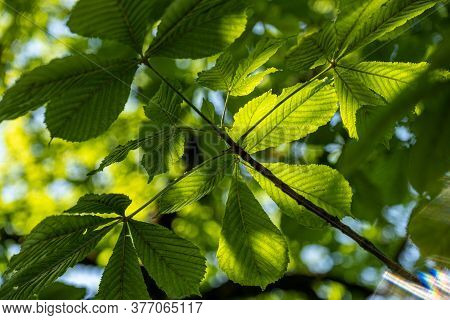 Chestnut Leaves In Backlight On A Sunny Day. The Sun's Rays Make Their Way Through The Green Foliage