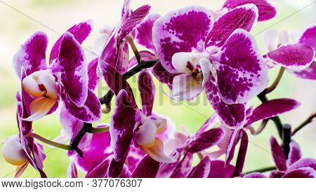 Beautiful Pink Phalaenopsis Orchid In A Large Plan. Floral Concept