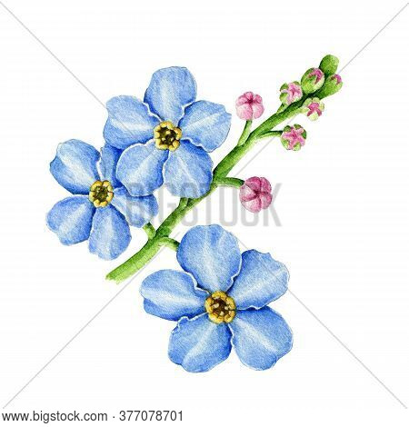 Blue Forget-me-not Flowers Watercolor Illustration. Hand Drawn Myosotis Meadow Herb Botanical Elemen