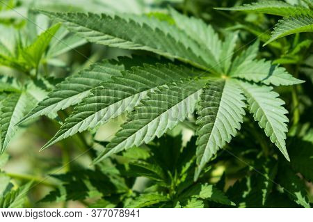 Green Cannabis  Leaf, Indica Vegetative Growth Stage Close Up.