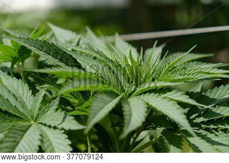 Green Cannabis  Leaf, Indica Vegetative Growth Stage.