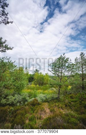 Swamp Wilderness In Scandinavia With Pine And Birch Trees In The Summer