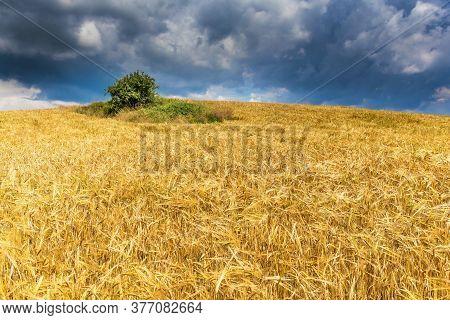Barley (hordeum Vulgare) Growing On Filed, Closeup Of Barley. Wheat Filed In Summer Time. Growing Co