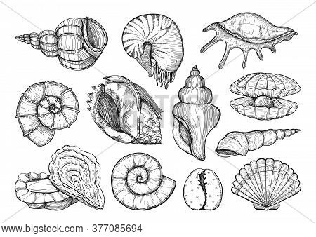 Collection Of Various Seashell, Mollusk, Nautilus, Shells Different Forms. Sea Shell Isolated Sketch