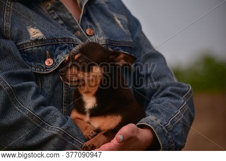 Chihuahua In The Arms Of A Girl.