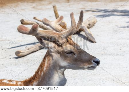 The Head Of A Young Doe Close-up, In The Background Lies A Dry Tree