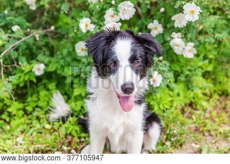 Outdoor Portrait Of Cute Smilling Puppy Border Collie Sitting On Park Or Garden Flower Background. N
