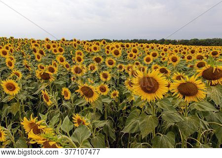 Yellow Sunflower Field, Rural Landscape .. Sunflowers. Sunflower Field Landscape. Sunflower Field, A