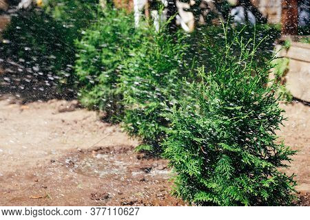 Watering Thuja Trees Row. Growing Evergreen Hedge In The Garden.