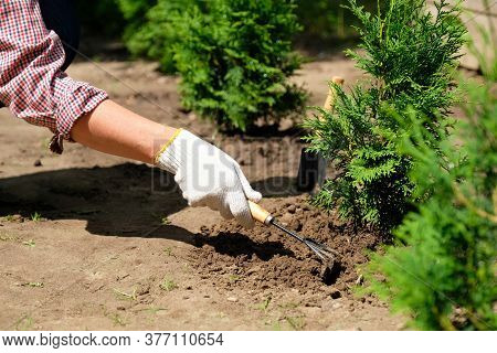 Garden Soil Care Concept. Farmer Hand In Glove Loosens The Ground Near Thuja Tree Using Garden Hoe T