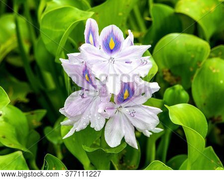 A Water Hyacinth Growing In Florida Waters Is An Invsive Species.