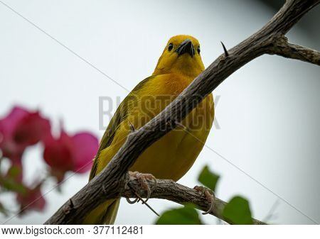 Taveta Golden Weaver Is Perched On A Limb High Above