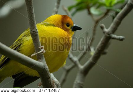 Golden Weaver Is Perched On A Branch High Above
