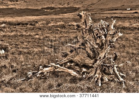 clump of irish bog oak in the county Kerry countryside in sepia poster