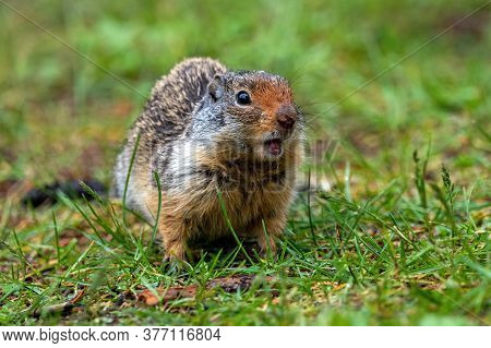 A Ground Squirrel Is Barking At The Camera.