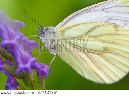 Large Cabbage White Butterfly On Lavender Against A Green Natural Background. High Quality Photo