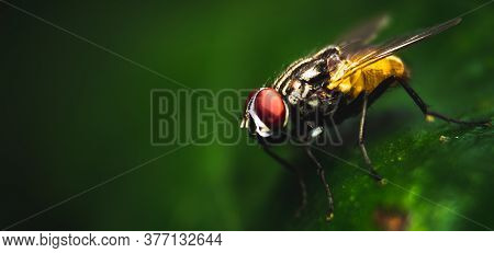 Housefly Close Up Macro Shot. The Housefly Is A Fly Of The Suborder Cyclorrhapha, And Has Spread All