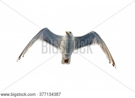 Sea Gull Flies In The Sky. Bottom View On A Background Of Clouds Silhouette Of A Seagull. Isolated I