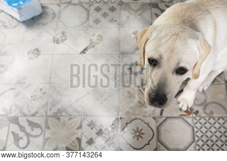 Dog With Guilty Expression Sit Near Mess On Floor.