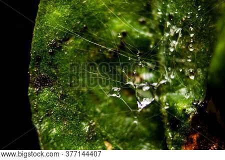 Rain Water Drop On Spider Web With Background Of Plant Leaves. Fresh Grass With Dew Drops Close Up -